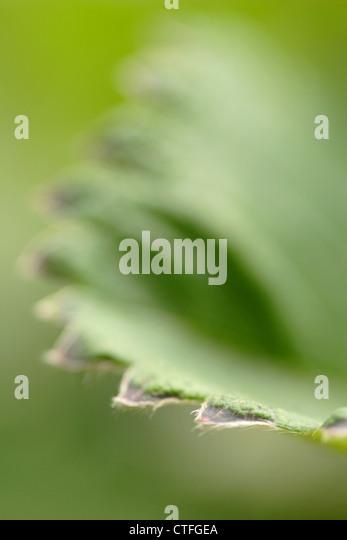 Blatt-Detail der Erdbeere Pflanze (Fragaria X ananassa) Stockbild