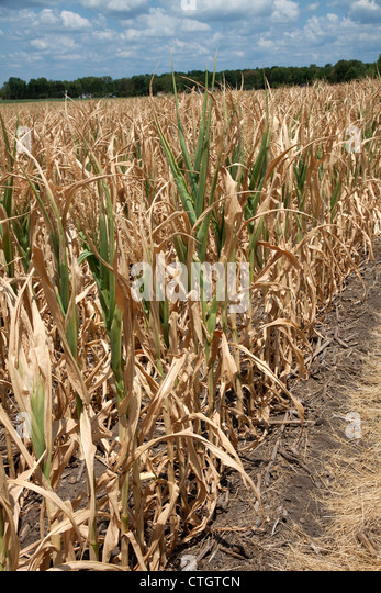 Mais unter Trockenheit leiden Bedingungen Indiana USA 2012 Stockbild