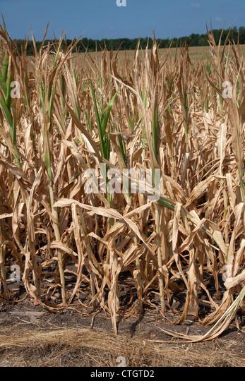 Maisernte leiden unter Trockenheit Indiana usa 2012 Stockbild