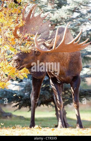 Großen Elchbullen isst von Bäumen in einer Nachbarschaft, Anchorage, Alaska Yunan, Herbst Stockbild
