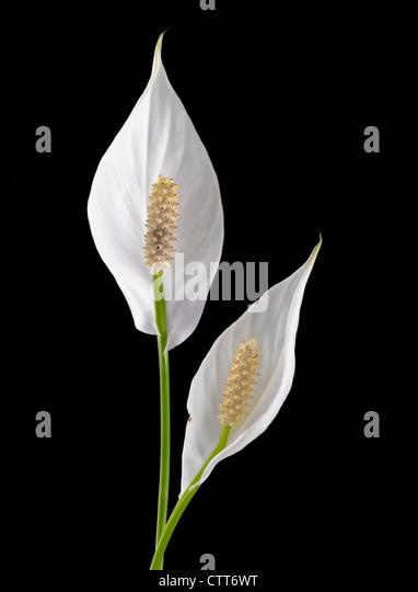 Spathiphyllum Wallisii, Peace Lily, weiße Hochblätter auf Blüten vor einem schwarzen Hintergrund. Stockbild