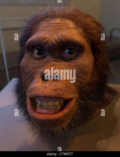 Australopithecus Africanus Wiederaufbau - American Museum of Natural History, Washington, DC Stockbild