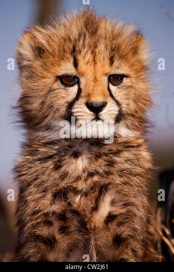 bPortrait der Baby Gepard cub Stockbild