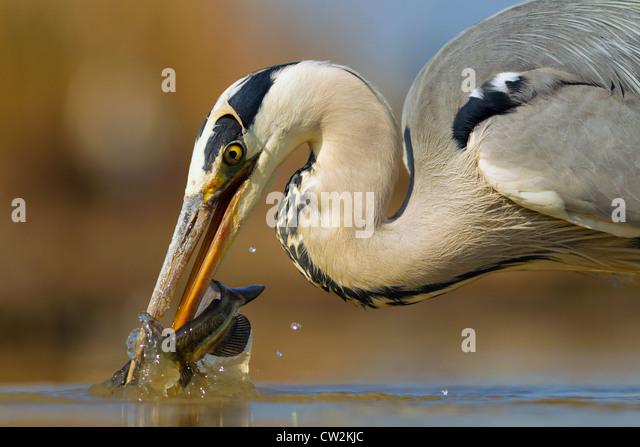Graue Reiher (Ardea Cinerea) mit einem Fisch im Schnabel. Hungrige Stockbild