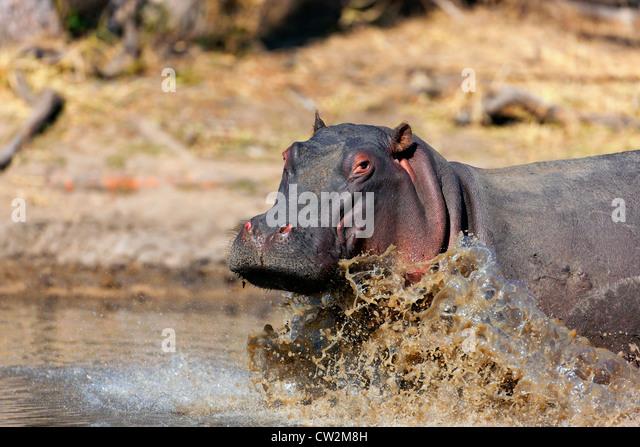 Erwachsene Flusspferde in Wasserloch. Stockbild