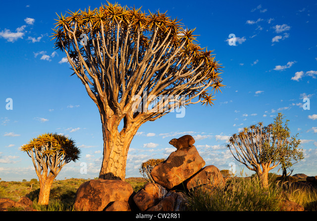 Rock Hyrax (Procavia Capensis). Namibia Stockbild