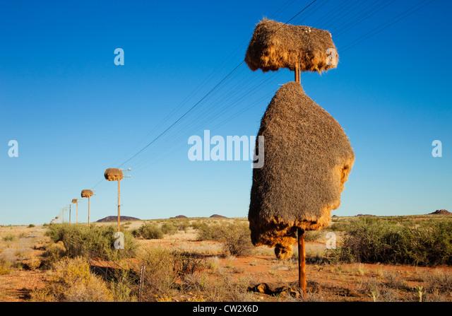 Gesellig Weaver Nest (Philetairus Socius) machte auf einen Telefonmast. Namibia - Stock-Bilder