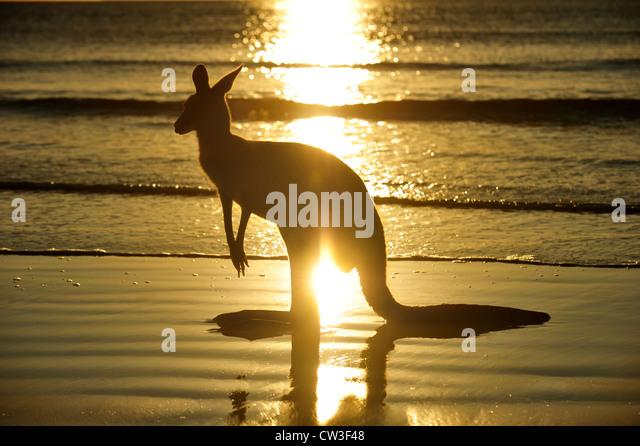 Silhouette australische östliche graue Känguru am Strand bei Sonnenaufgang, Cape Hillsborough, Mackay, Stockbild