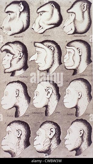 Eine Reihe von Primaten Köpfe entwickeln sich schrittweise zu mehr menschlich-wie Eigenschaften. Von Ernest Stockbild