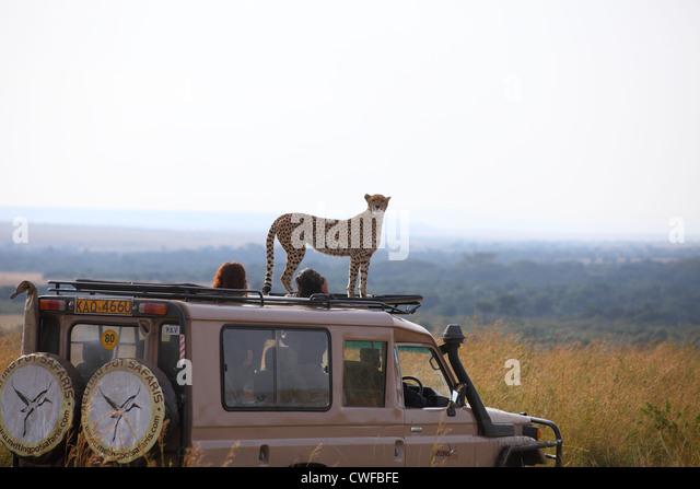 Gepard (Acinonyx Jubatus) auf touristische Fahrzeug in Masai Mara Nationalpark, Kenia Stockbild