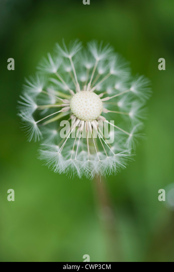 Löwenzahn seedhead Stockbild