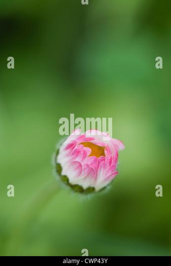 Gänseblümchen blühen Stockbild
