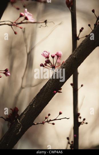 Kirschblüten am Zweig Stockbild
