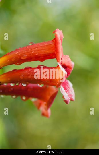 Tautropfen auf Trompete Ranke Blumen Stockbild