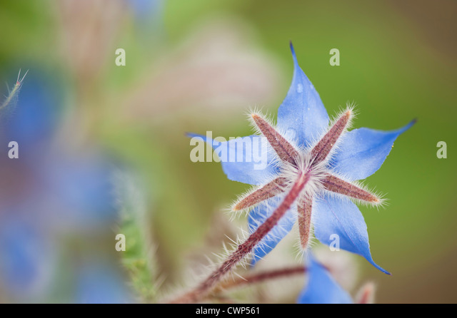 Borretsch-Blüte Stockbild