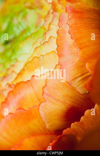 Ranunculus Blütenstand, extreme Nahaufnahme Stockbild