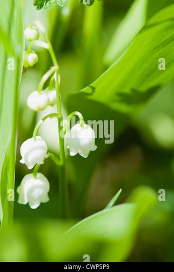 Maiglöckchen Blumen Stockbild