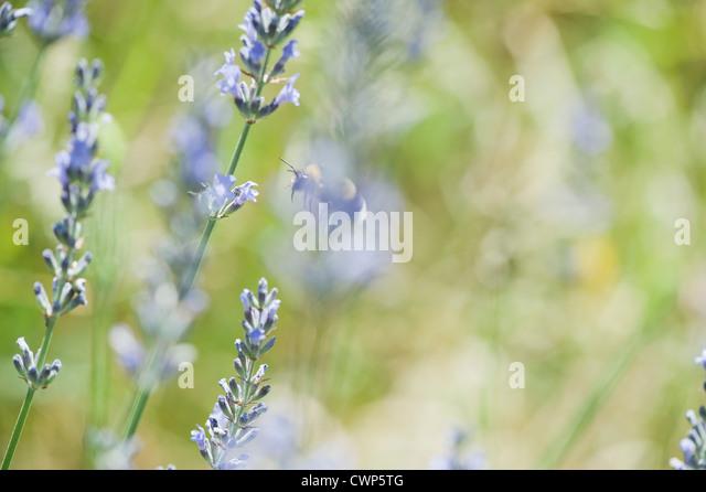 Lavendel Blumen Stockbild