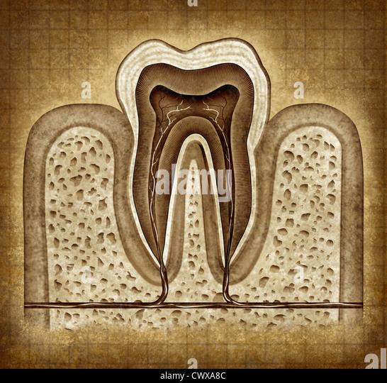 Zahn Innere Anatomie alte Grunge Pergament Diagramm als Zahnarzt Chirurg Zähne Symbol für Zahnklinik und Stockbild