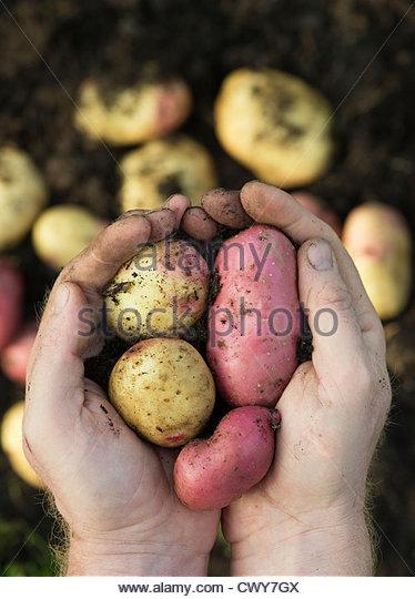 Gärtner Hände halten geernteten König Edward und Desiree Kartoffeln Stockbild