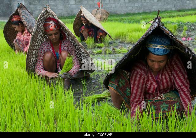 Bäuerinnen bei Arbeiten in Reis Kindergarten, mit Regenschutz, Annapurna Gebiet, Pokhara, Nepal, Asien - Stock-Bilder