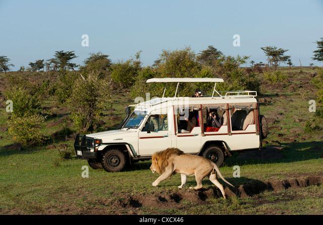Löwe (Panthera Leo) und Safari-Fahrzeug, Masai Mara, Kenia, Ostafrika, Afrika Stockbild