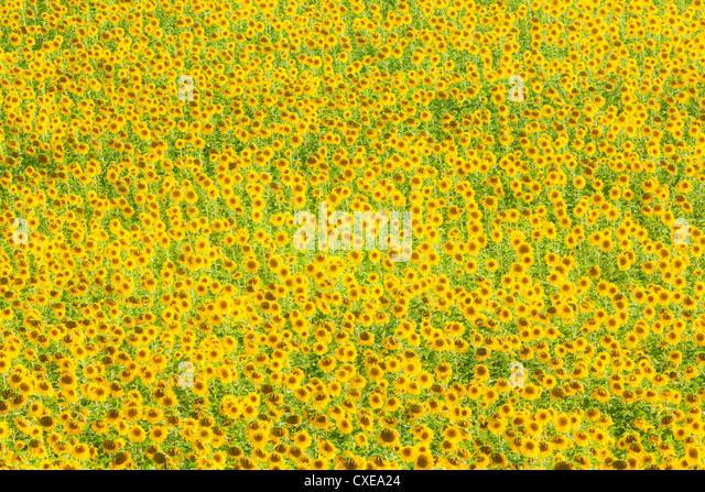 Sonnenblume (Helianthus) Felder, Andalusien, Spanien, Europa Stockbild