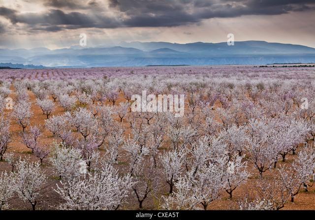 Frühling Mandelblüte, Andalusien, Spanien, Europa Stockbild