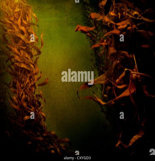 Kelp Algen im Wasser fließt Stockbild