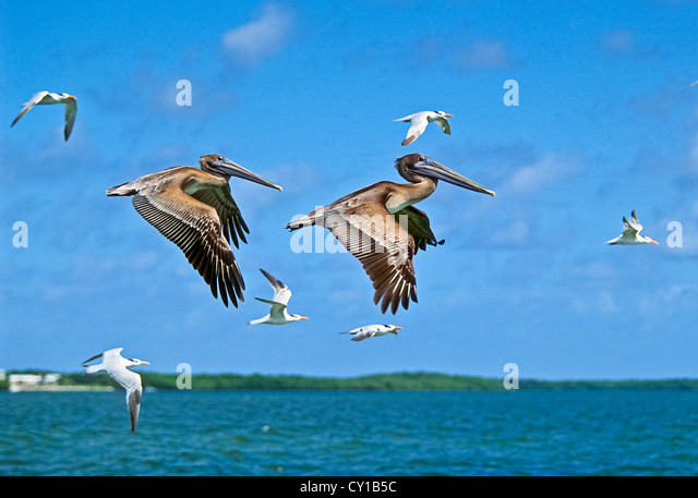 Juvenile braune Pelikane fliegen, Pelecanus Occidentalis, Key Largo, Florida, USA Stockbild