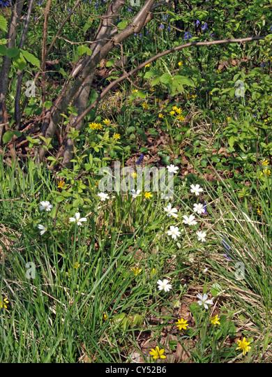 Buschwindröschen oder wilde Windflower (Anemone Nemorosa) und kleinen Schöllkraut, Stockbild