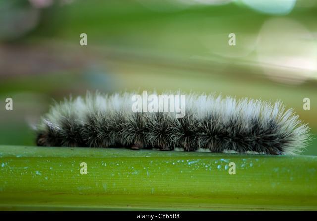 Caterpillar, Western Ghats, Indien Stockbild