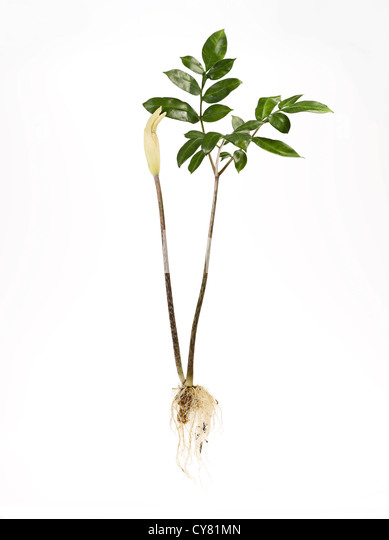 Konjak Pflanze mit Wurzel und Blätter Stockbild