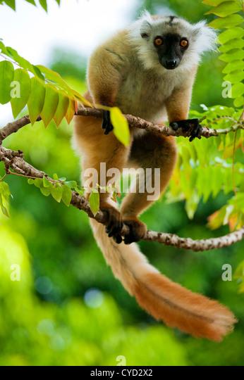 Lemur, Insel Nosy werden, Madagaskar Stockbild