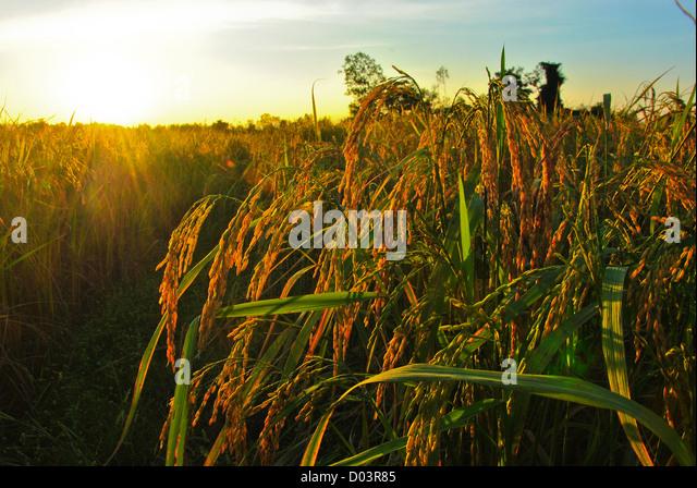 Sonnenuntergang über Reisfeld Stockbild