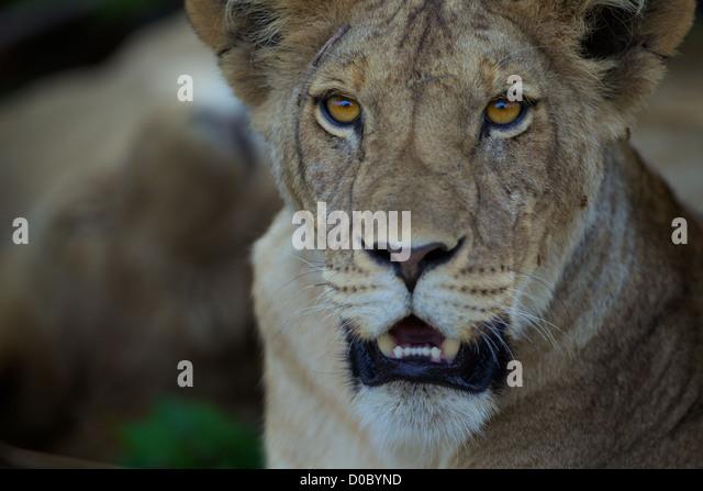 African Lion Cub Panthera Leo in Ruaha Wildreservat. Südlichen Tansania. Afrika Stockbild