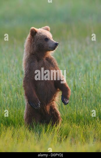 Ein braun oder Grizzly Bear Cub, Lake-Clark-Nationalpark, Alaska. Stockbild