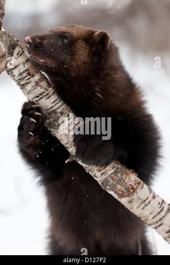 Wolverine im Schnee - Stock-Bilder