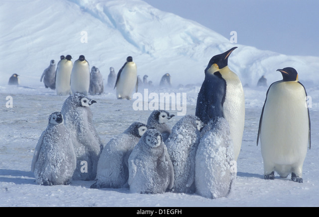 Kaiserpinguine (Aptenodytes Forsteri), Dawson-Lambton-Gletscher, Antarktis Stockbild
