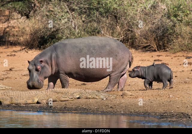 Flusspferd (Hippopotamus Amphibius) mit Kalb, Kruger National Park, Mpumalanga, Südafrika, Afrika Stockbild