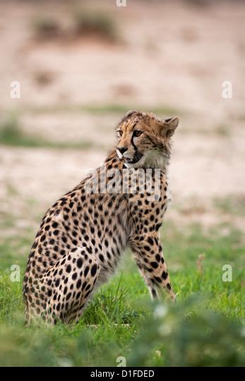 Gepard (Acinonyx Jubatus) Cub, Kgalagadi Transfrontier Park, Südafrika, Afrika Stockbild