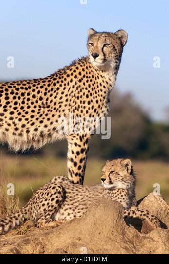 Gepard (Acinonyx Jubatus) mit Cub, Phinda private Game reserve, Kwazulu Natal, Südafrika, Afrika Stockbild