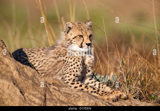 Gepard (Acinonyx Jubatus) Cub Phinda private Game reserve, Kwazulu Natal, Südafrika, Afrika Stockbild