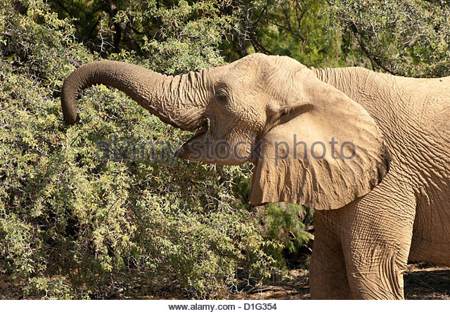Wüste Elefant (Loxodonta Africana), endemisch in Namibia, der Wüste angepasst und Flusstäler, Kaokoveld, Stockbild