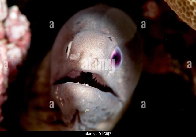 White eyed Moray Aal (Siderea Thysoidea) Blind in einem Auge, Sulawesi, Indonesien, Südostasien, Asien Stockbild