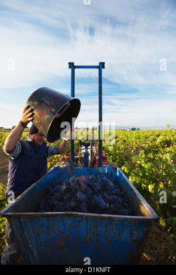 """Ernte der Trauben Wein """"Tempranillo"""". Lanciego. Rioja Alavesa Wein Route. Alava. Baskisches Land. Spanien Stockbild"""