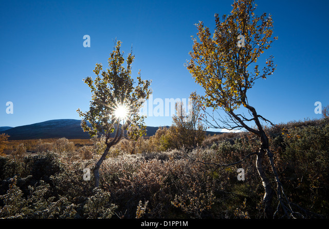 Birken an einem frostigen Morgen im Fokstumyra Naturreservat, Dovre, Norwegen. Stockbild