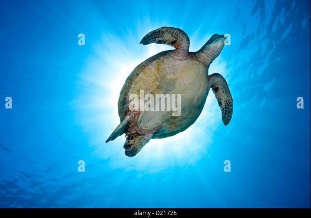 Green Sea Turtle Chelonia Mydas schwimmen über ein Korallenriff, Coral Sea, Great Barrier Reef, Pazifik, Queensland Stockbild