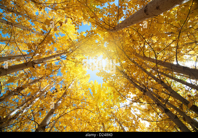 Blick nach oben der Fall Aspen Bäume, Leh Bezirk im Bundesstaat Jammu und Kaschmir, Indien. Stockbild