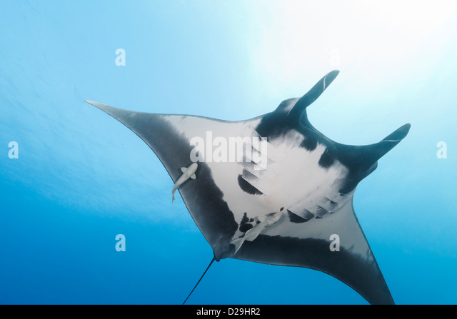 Riesige ozeanische Mantarochen (Manta Birostris) Schwimmen im Archipielago de Revillagigedo Mexiko, Rocio del Mar, Stockbild